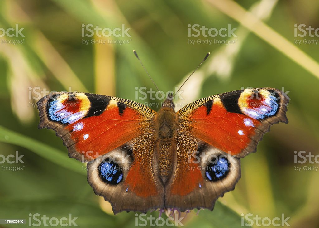 peacock butterfly /  inachis io stock photo