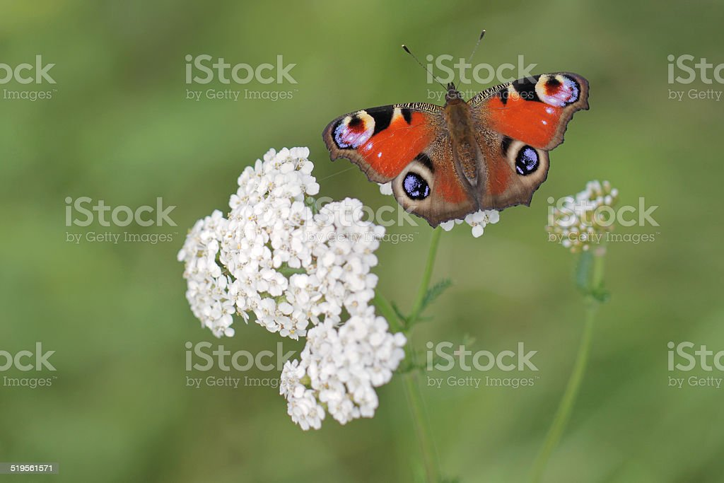 Peacock butterfly Inachis io stock photo