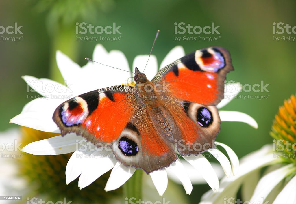 Pfau Schmetterling Inachis io ] [ Lizenzfreies stock-foto