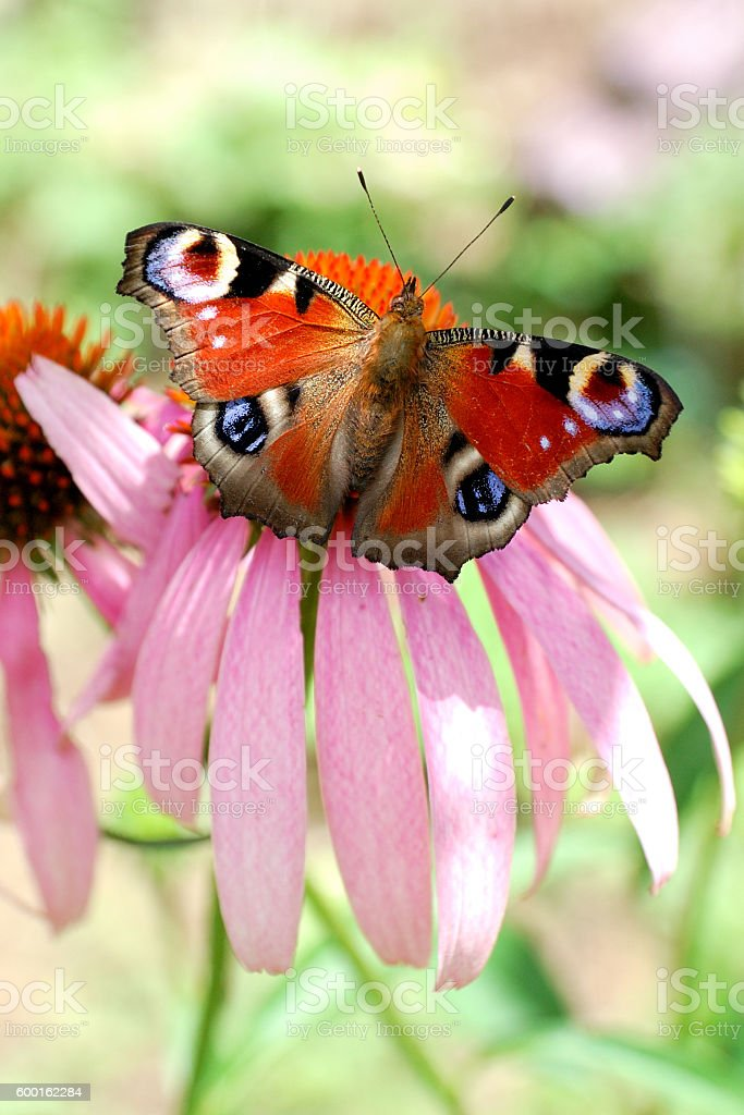peacock butterfly (inachis io) on a echinacea flower stock photo