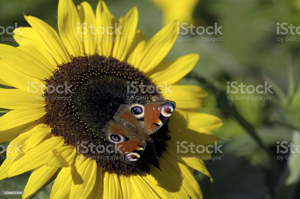 Peacock butterfly on a sunflower stock photo