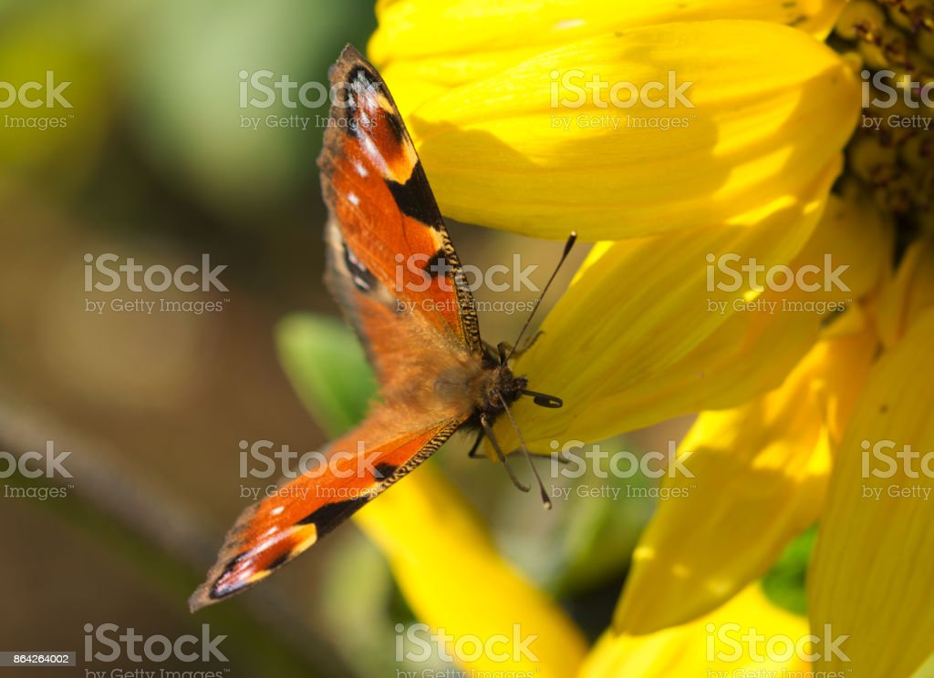 peacock butterfly on a sunflower royalty-free stock photo