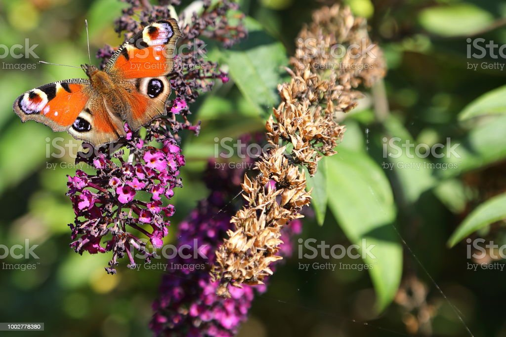 Peacock Butterfly (Aglais io) on blooming bush stock photo