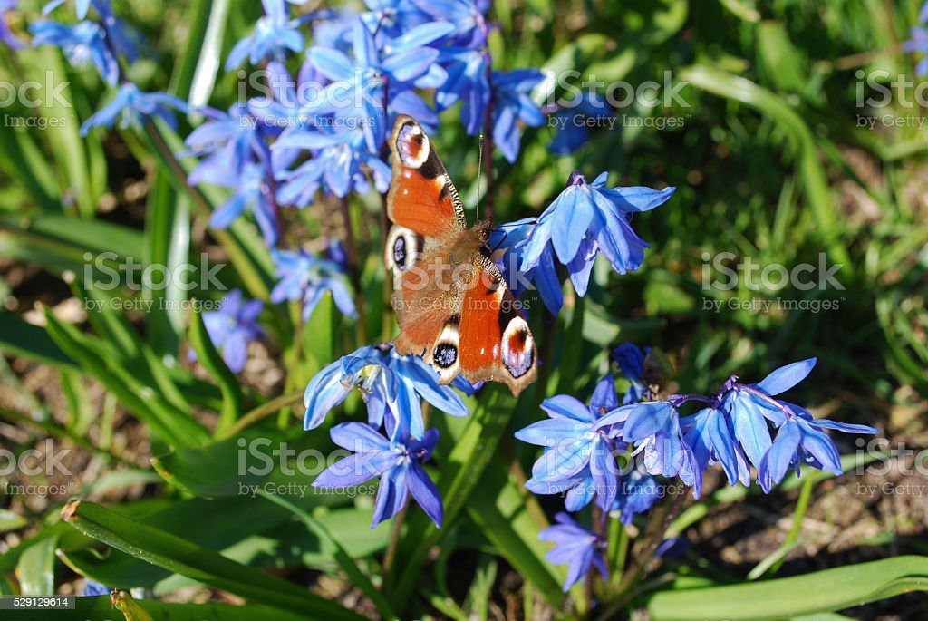 Peacock butterfly on blue Scilla siberica flowers. stock photo