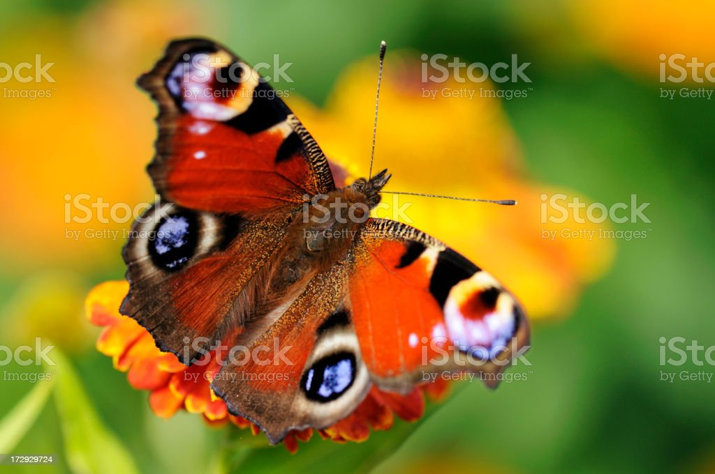 Peacock Butterfly on Flower stock photo