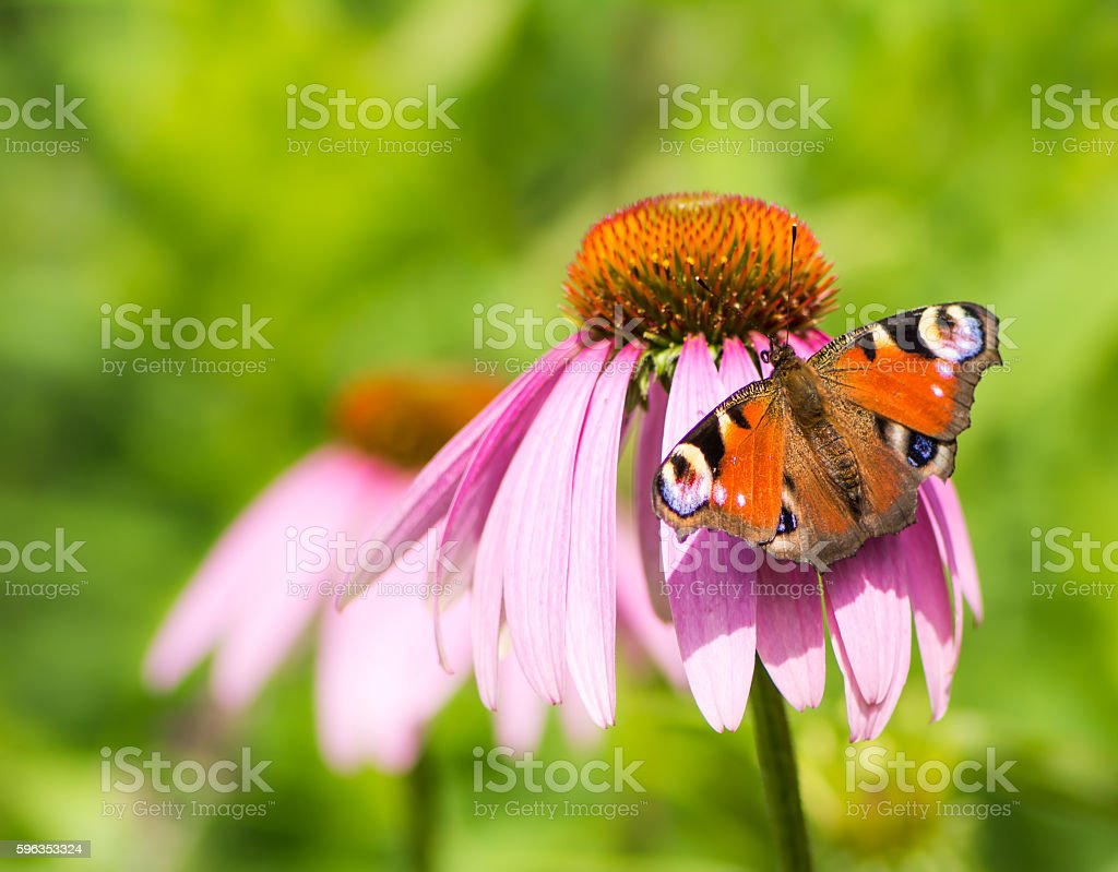 Peacock butterfly on pink echinacea blossom royalty-free stock photo