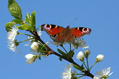 Peacock butterfly sunning itself on plum blossom on a warm spring day. Bright blue sky and bright white blossom. Focus on butterfly's wings.