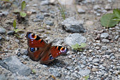 Peacock butterfly (Inachis io) resting on the gravel