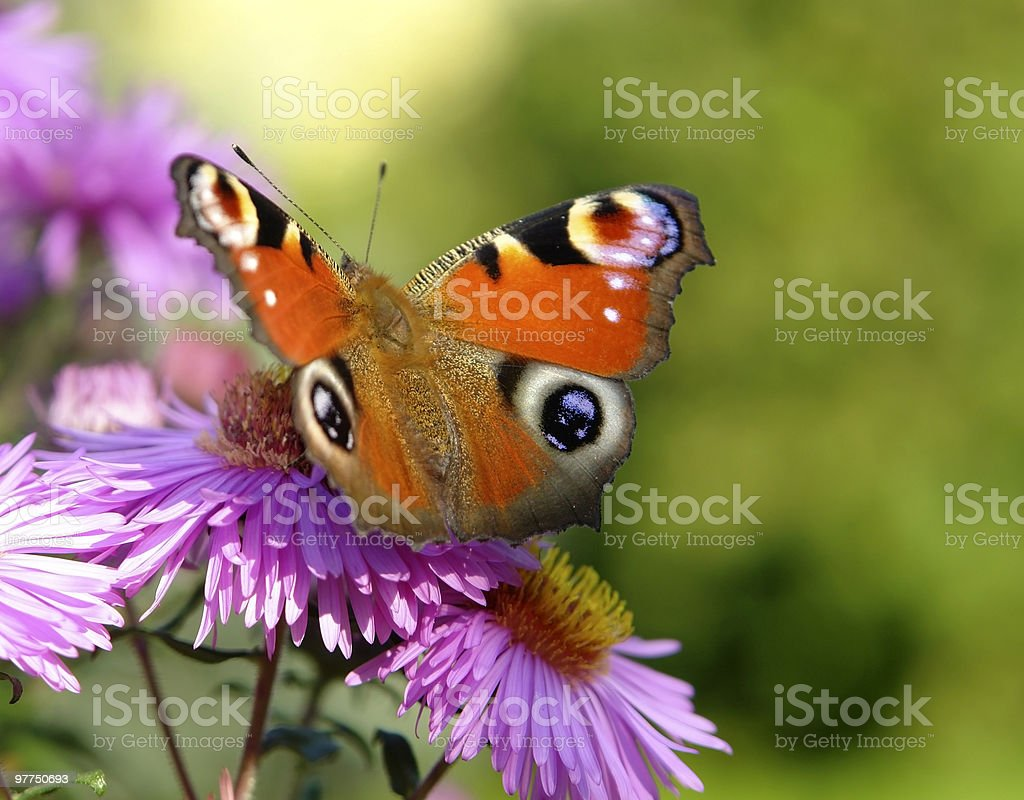 peacock butterfly on violet flowers royalty-free stock photo