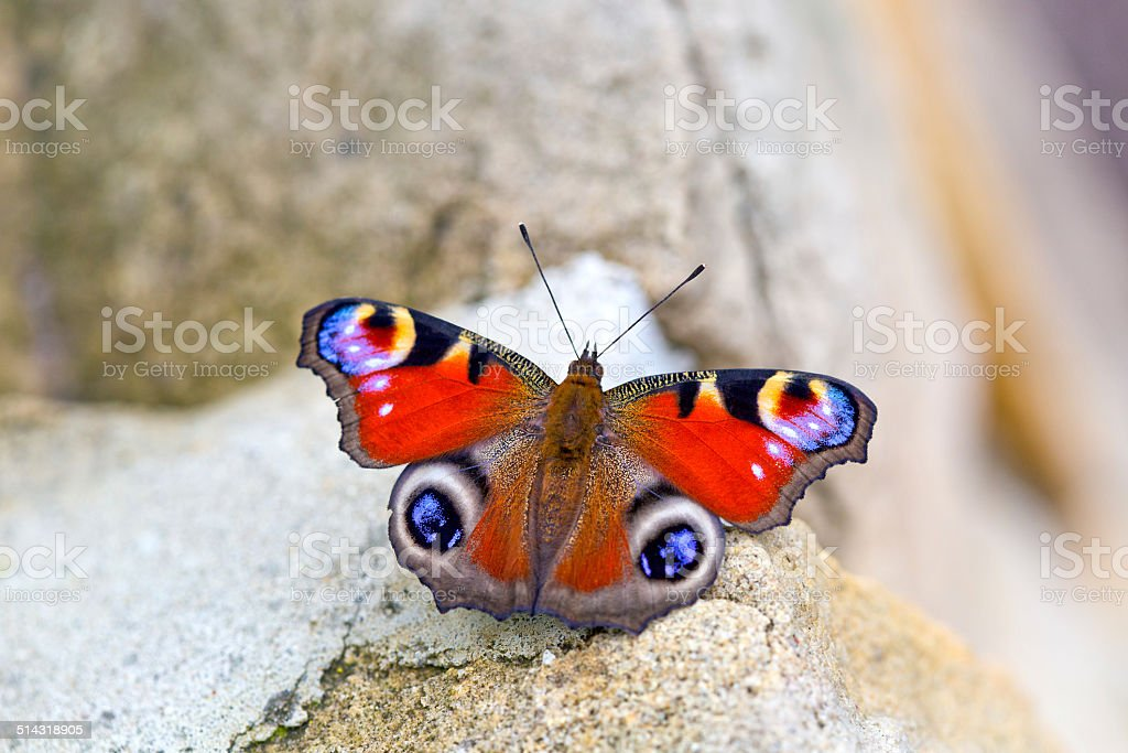 Peacock butterfly (Aglais io) perching on stone stock photo
