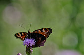 Peacock butterfly - European butterlfy - Aglais io on a thistle warming its wings.