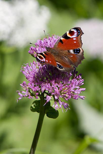 Peacock butterfly picture id176022175?b=1&k=6&m=176022175&s=612x612&w=0&h=00 wltl2lsdxknnwxb1dgtkdbuh8 wwlvhbum64pagm=