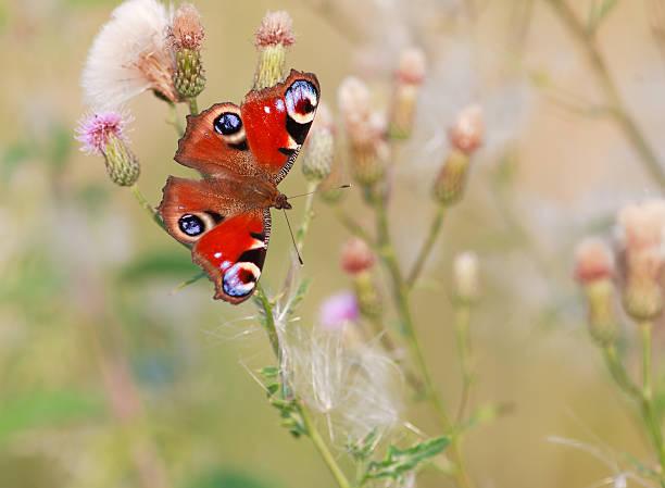Peacock butterfly. – Foto