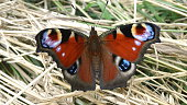 The glorious European Peacock butterfly (Aglais Io) with stunning eye-spots on its wings. Close-up, dorsal view. Resting on dried grass.