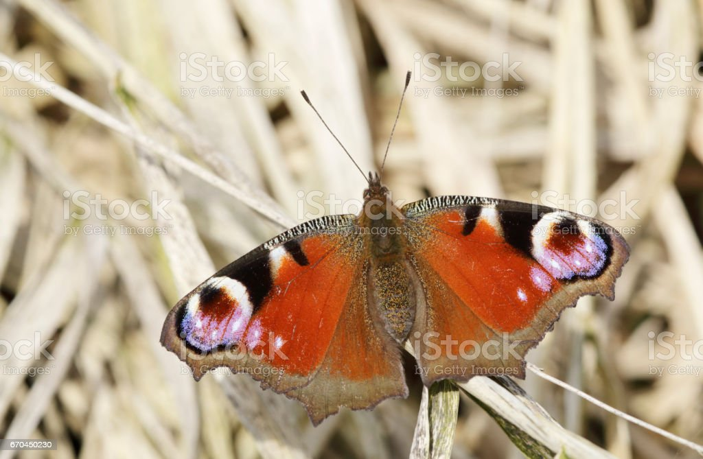 Peacock Butterfly (Inachis io) stock photo