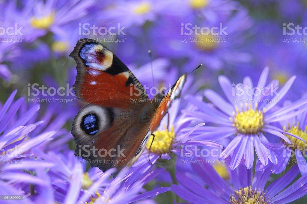 Peacock Butterfly – Foto