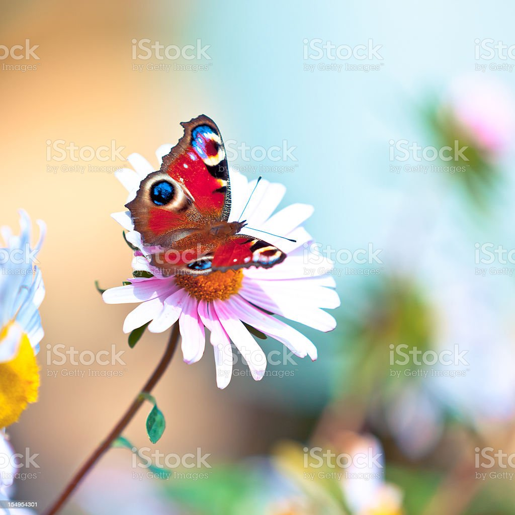 Peacock butterfly pollinating daisy flower stock photo