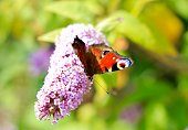 Peacock butterfly pollinating on the flowers of Lochinch.