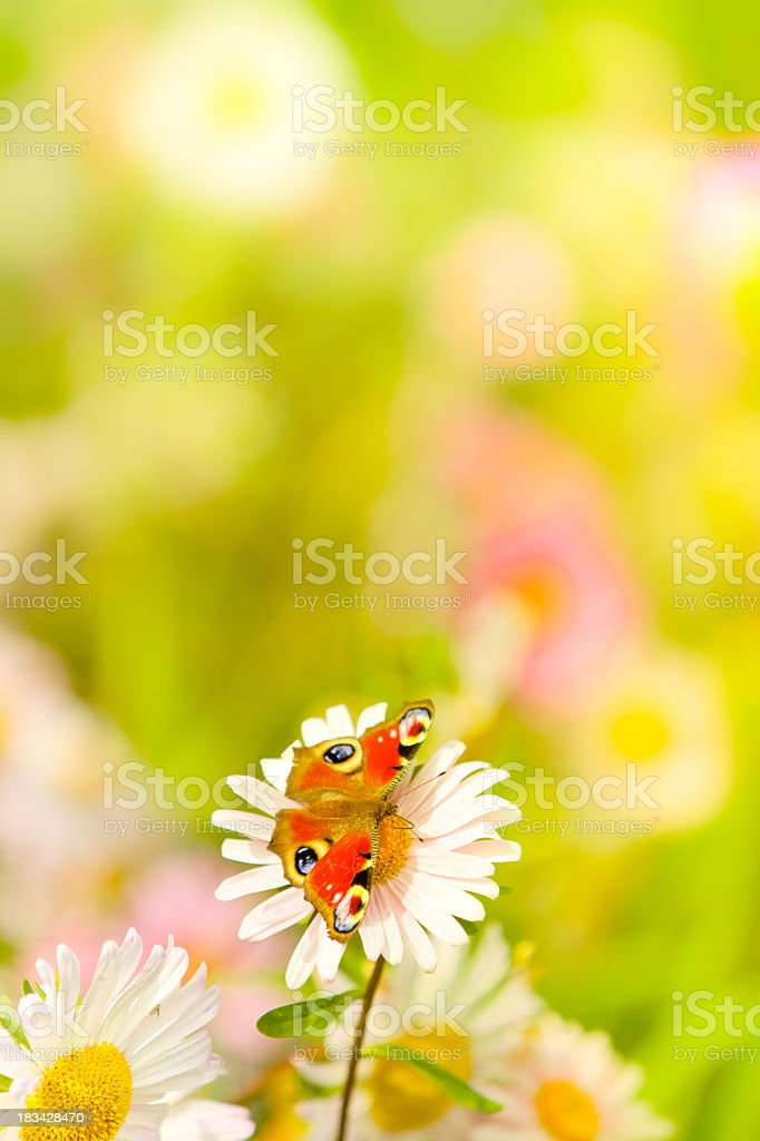 Peacock butterfly sitting on daisy flower royalty-free stock photo