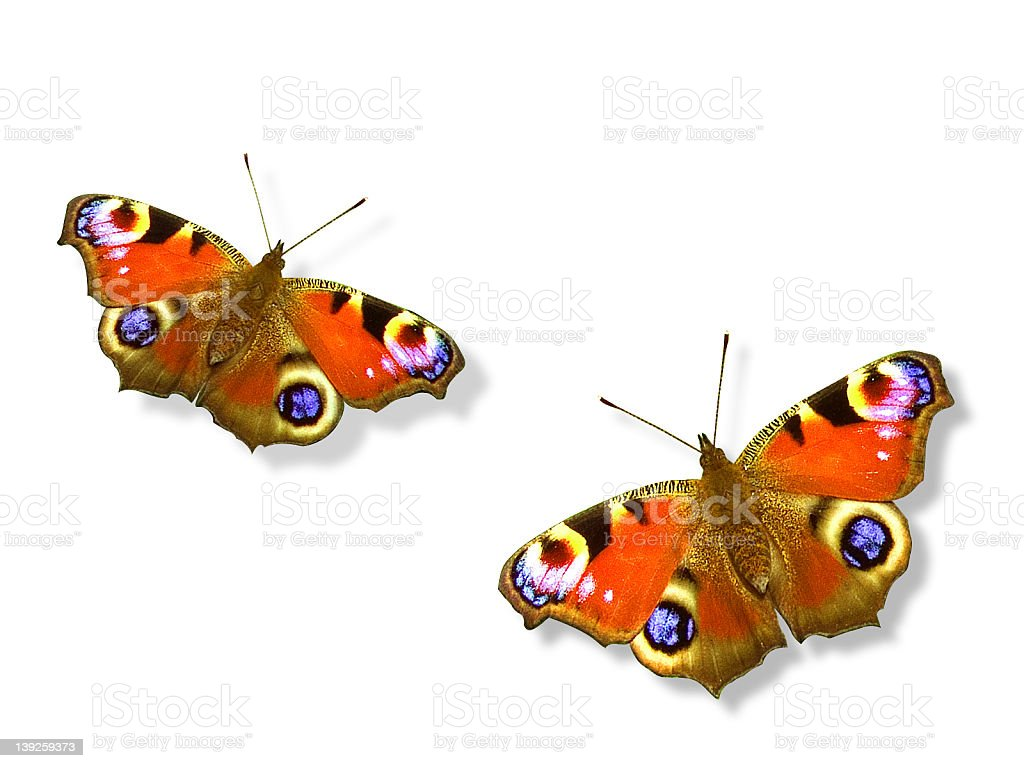 Peacock butterfly with clipping paths royalty-free stock photo