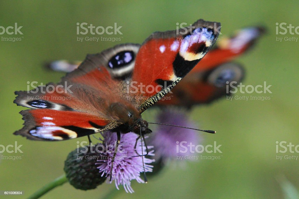 Peacock butterlies on thistle flowers stock photo