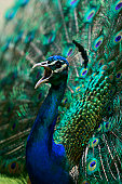 A male Peacock puts on a beautiful display in the hope of gaining the females attention. Picture taken at a Safari Ranch outside Johannesburg, South Africa. Oct 2006.