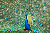 Close-up of a colorful peacock.