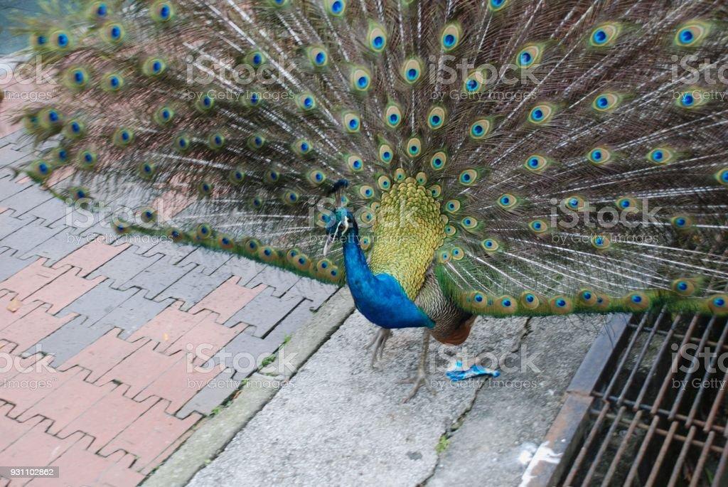 Toplamda dans tavus kuşu zafer 's - Royalty-free Avustralya Stok görsel