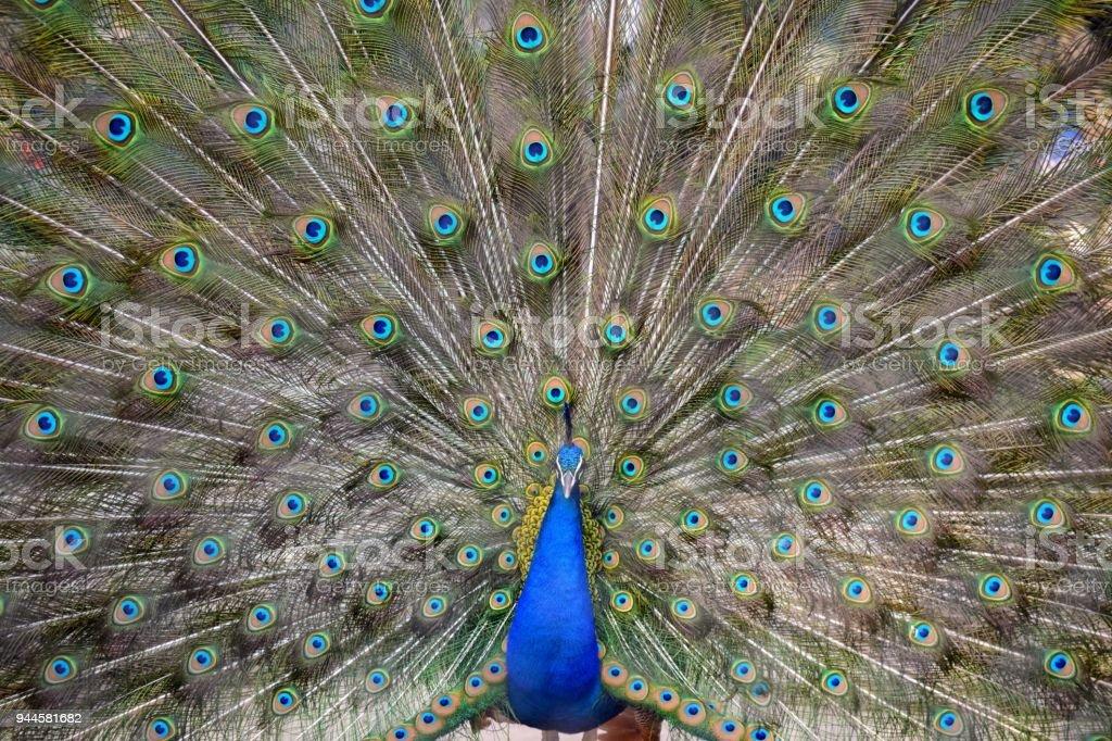 Peacock Dancing stock photo