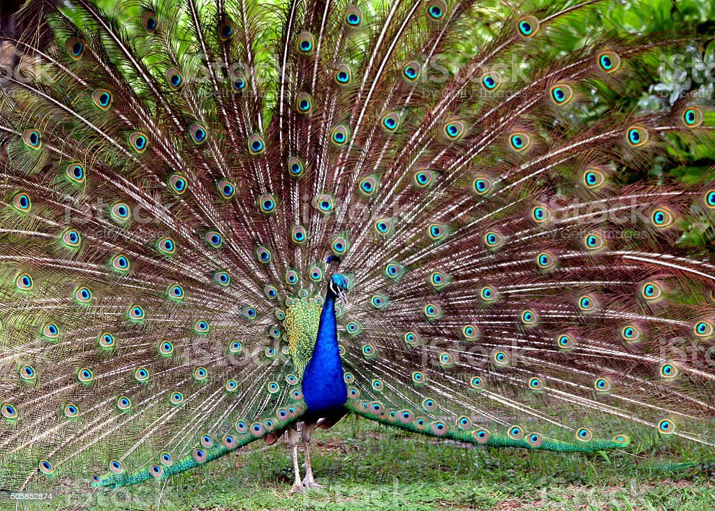 Peacock display of courtship. stock photo