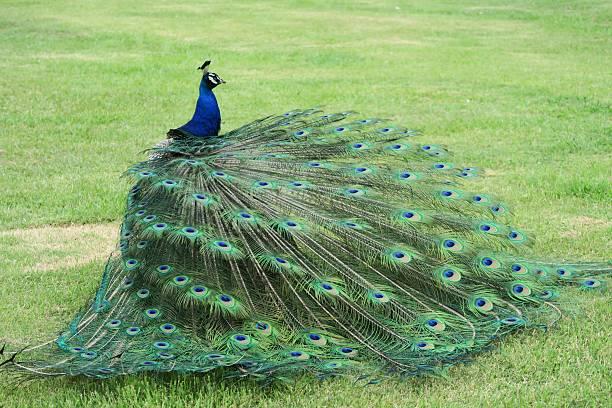 Peacock displaying its plumage stock photo