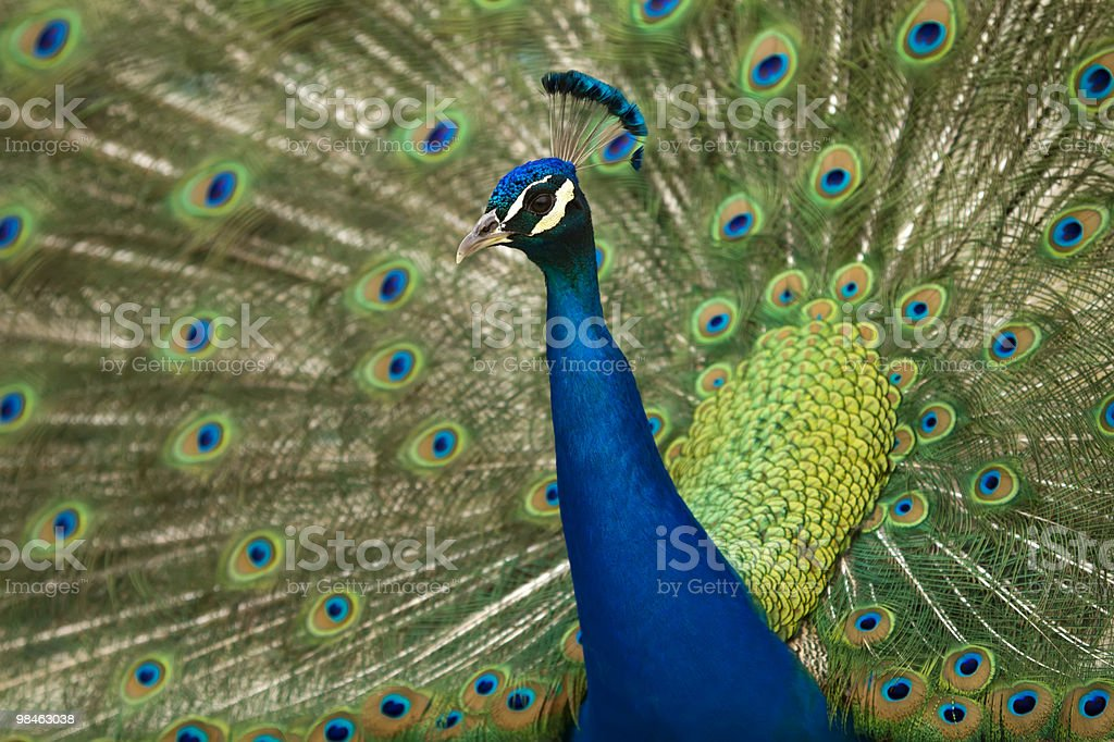Peacock Fanning Tail royalty-free stock photo