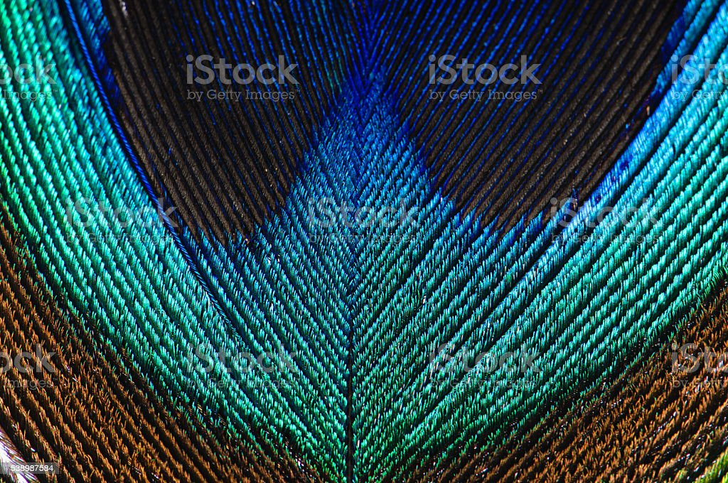 Peacock feather close up stock photo