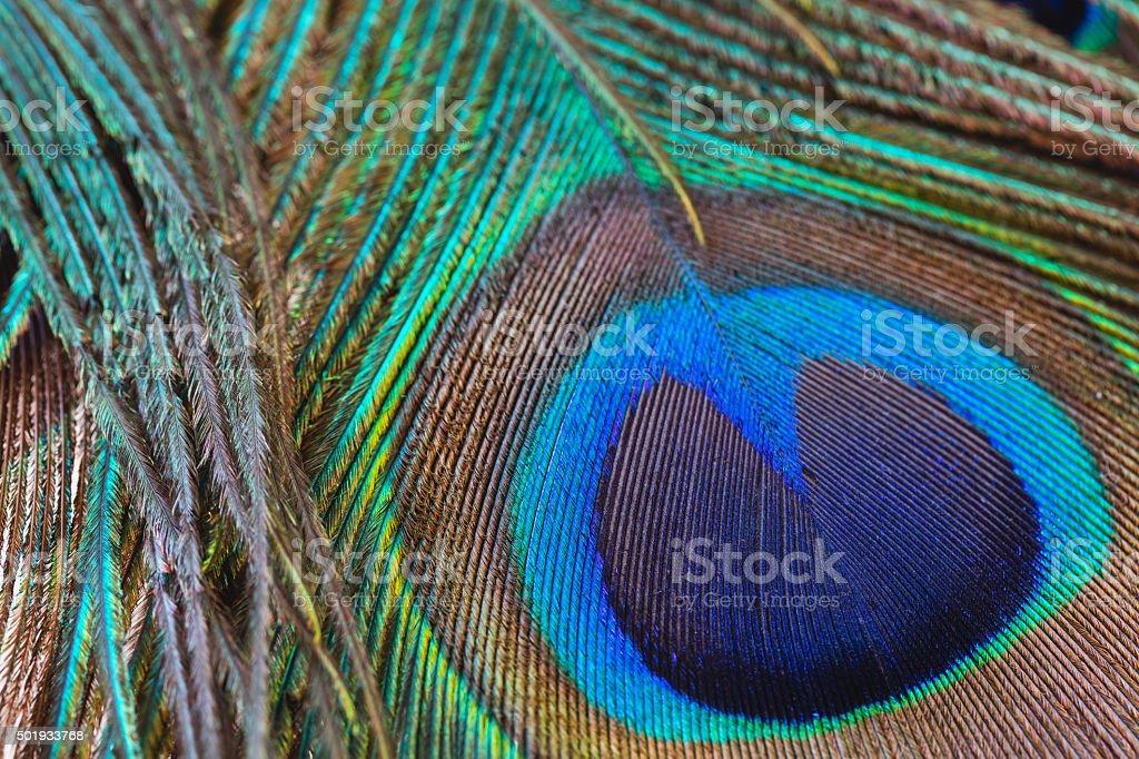 Peacock feather close-up, macro stock photo