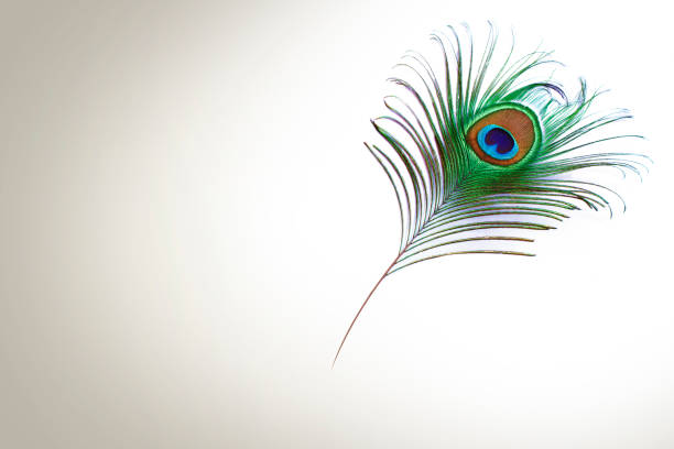 Peacock Feather design Feather, Peacock Feather, Peacock, Studio Shot, Beauty In Nature peacock feather stock pictures, royalty-free photos & images