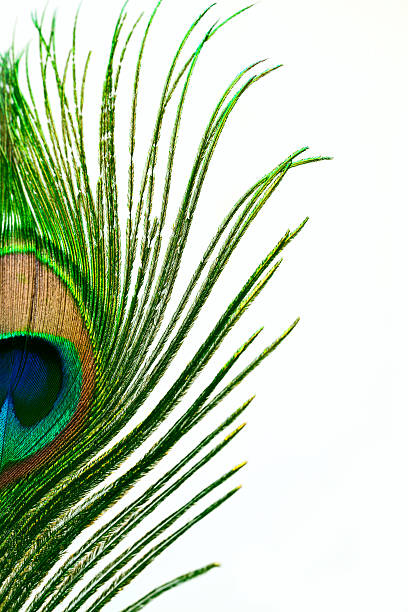 Peacock feather Beautiful peacock feather isolated on white background peacock feather stock pictures, royalty-free photos & images