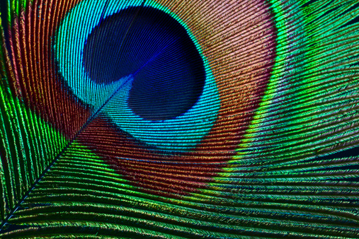 Close up of beautiful peacock feather