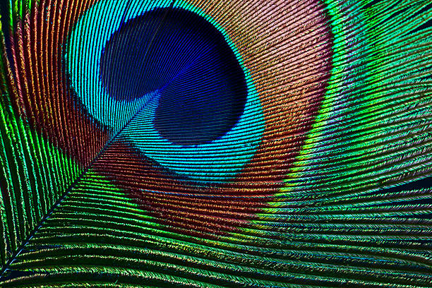 peacock feather - animal markings stock photos and pictures