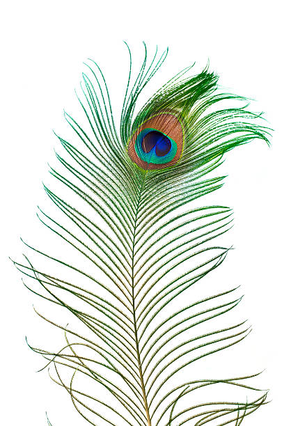 Peacock feather Beautiful peacock feather isolated on white peacock feather stock pictures, royalty-free photos & images