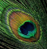 Close-up on peacock feather.