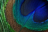 Close-up of beautiful peacock feather
