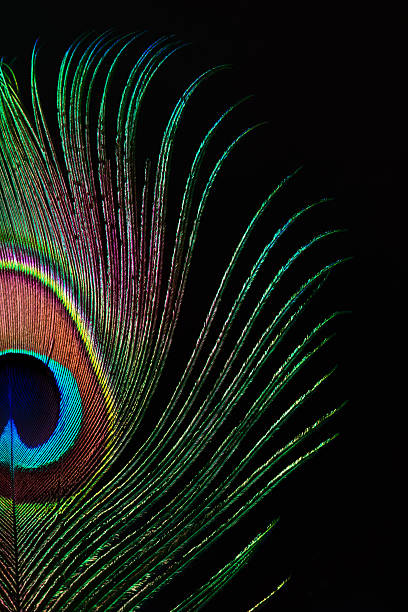 Peacock feather Beautiful peacock feather isolated on black peacock feather stock pictures, royalty-free photos & images
