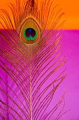 peacock feather on orange and purple background