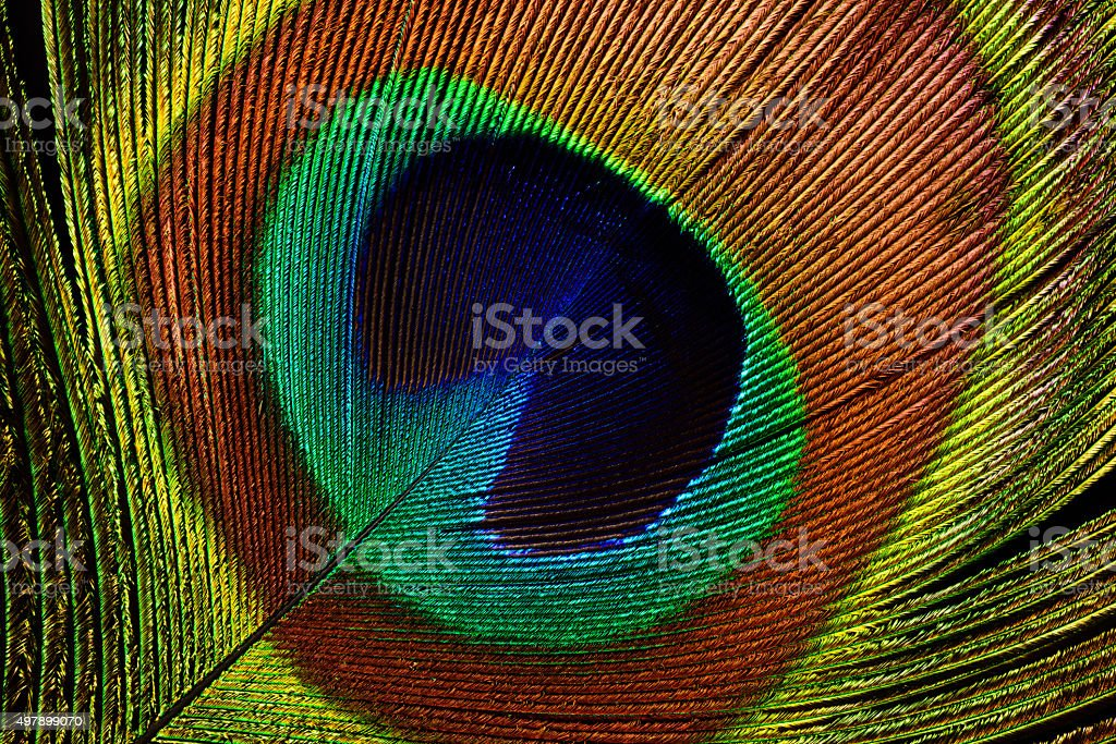 Peacock feather (detail of eyespot) stock photo