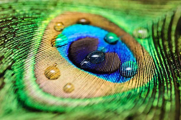 peacock feather - pfau bilder stock-fotos und bilder