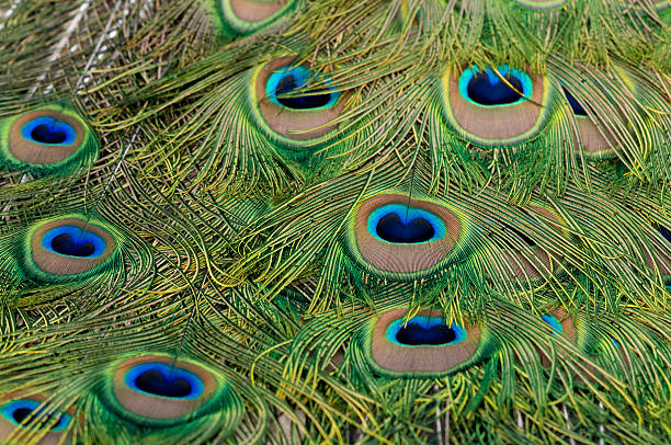 peacock feather – Foto