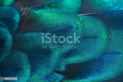 Peacock feathers in closeup (Green peafowl)