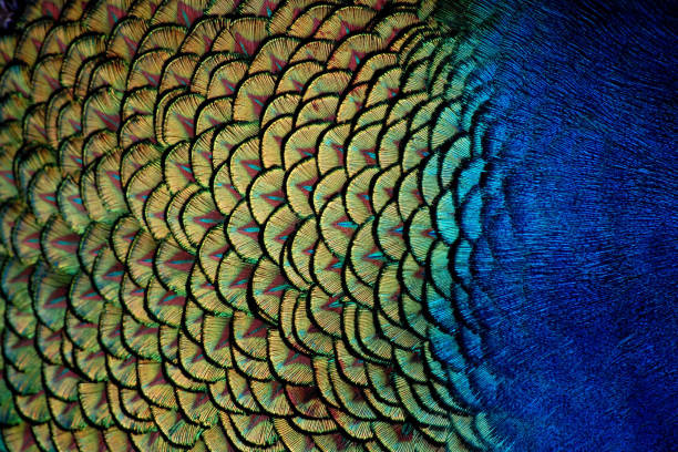 Peacock Feathers Macro Blue and green Peacock body feathers up close peacock feather stock pictures, royalty-free photos & images