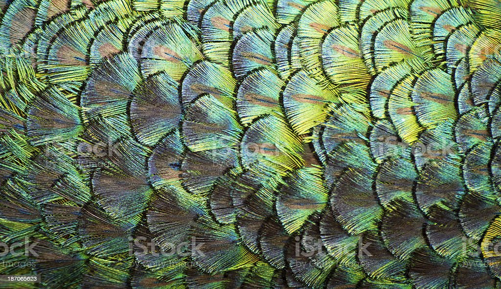 Peacock feathers on the nape of its neck royalty-free stock photo