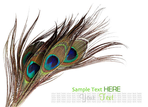 Peacock feathers on white background Peacock feathers on white background peacock feather stock pictures, royalty-free photos & images